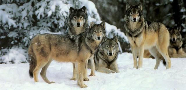 wolf_ordinary3