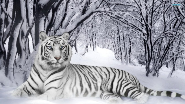 eye-of-the-tiger-picture-wallpaper-tiger-pic-