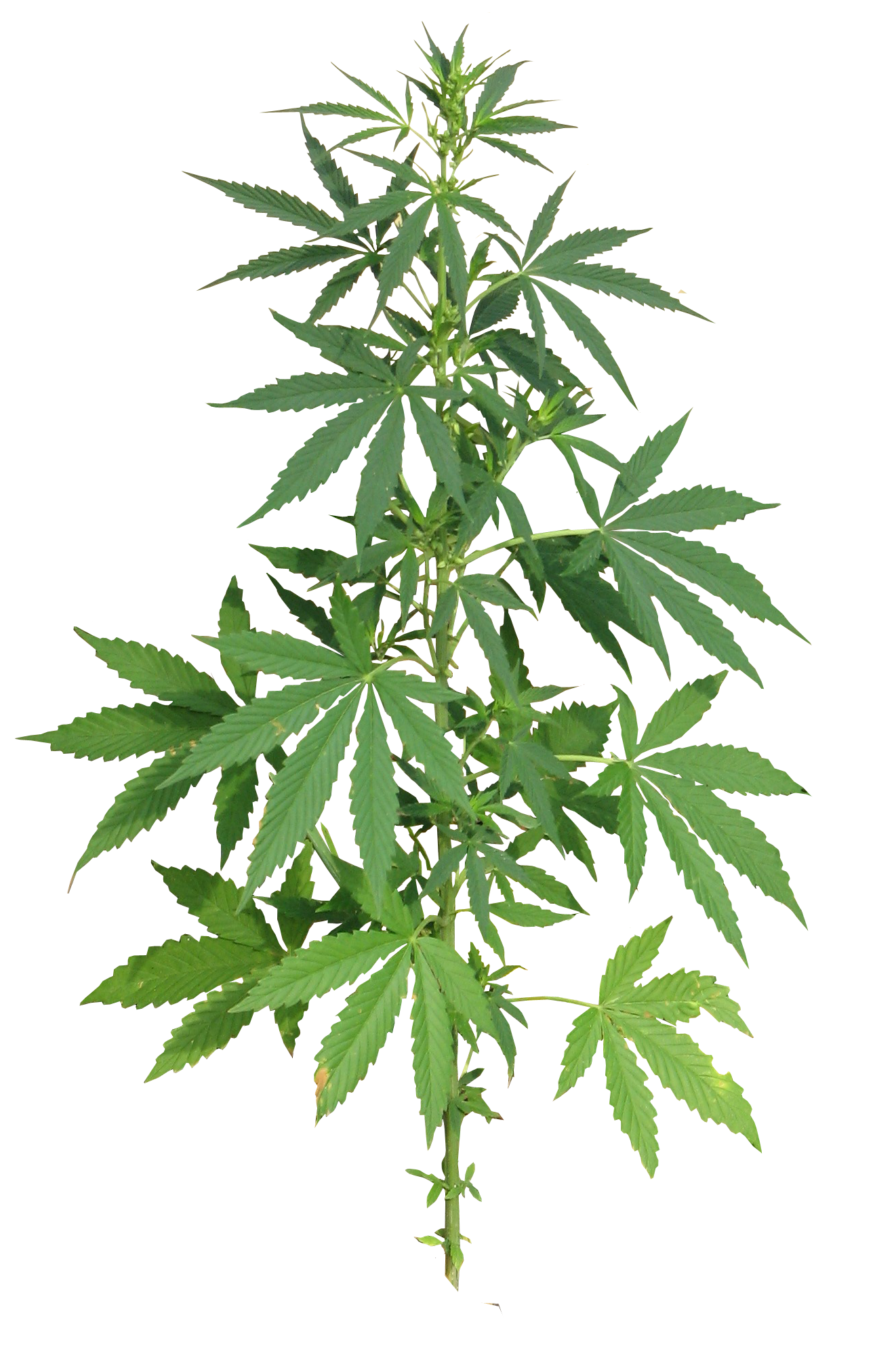 the good and bad sides of marijuana