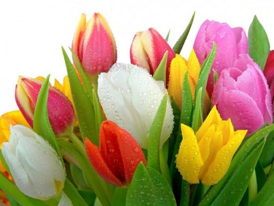 tulips-wt-1024