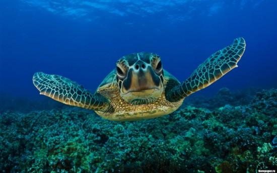 морская_Черепаха