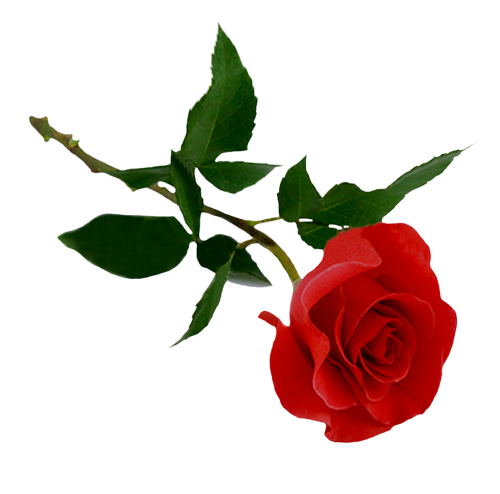 роза к