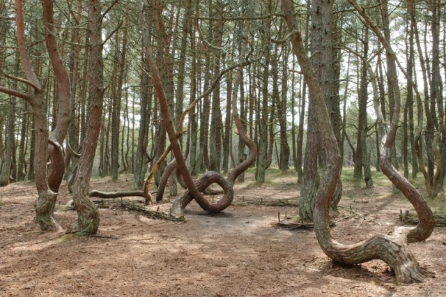 iТанцующий лес Калининградская область