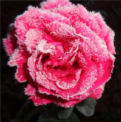 d13f23af962a Роза в инее.