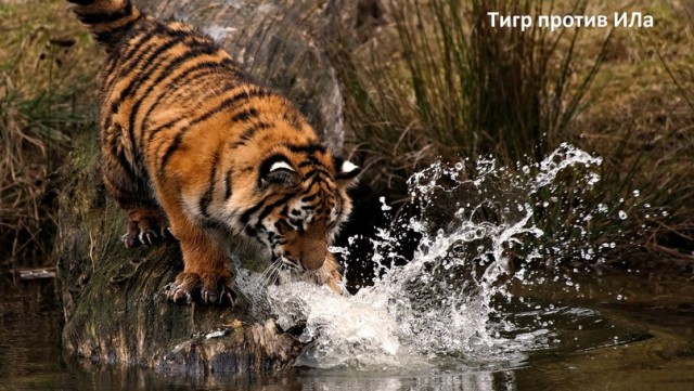 тигр против ила