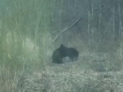 Медведь кабан