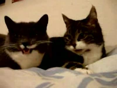 Сенсация! Раскрыта тайна говорящих котов! =)