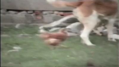 собака и курицы