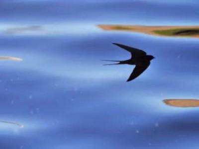 Почему перед дождем ласточки летают низко?