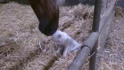Кошка и лошадь chat câlin avec un cheval
