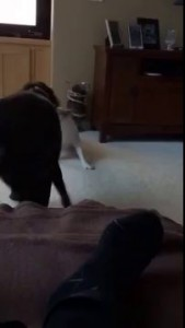 Mo The Cat Interrupts Tug Of War