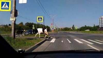 Коровы!
