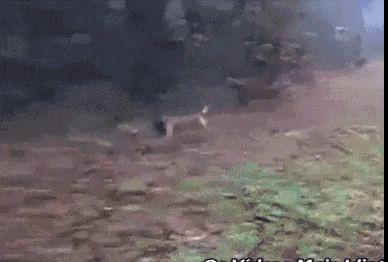 Атака боевого пса
