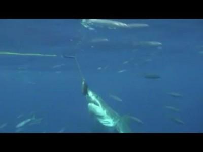 Случай с большой белой акулой