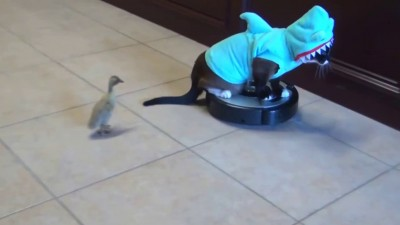 Shark Cat on Roomba Chasing Duck
