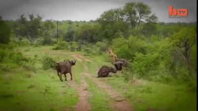 Львы и буйволы