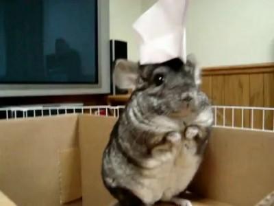 Шиншилла в шапочке