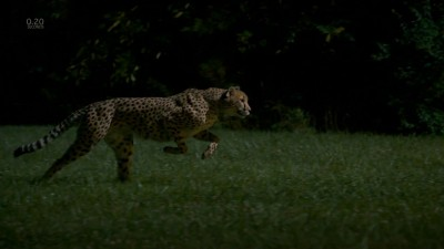 Cheetahs on the Edge--Director's Cut