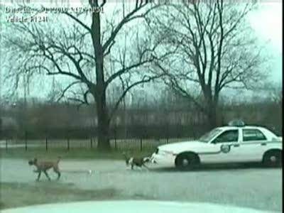 Собаки порвали полицейский автомобиль