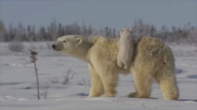 Любовь и нежность полярных медведиков