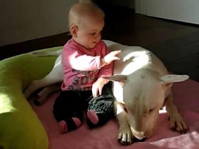 Бультерьер атакует ребёнка
