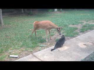 Встреча оленя и котэ