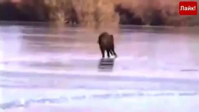 Угарный кабан на льду. Даже ты так не умеешь! Приколы с животными.