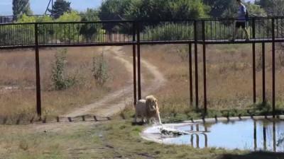 Лев vs крокодил