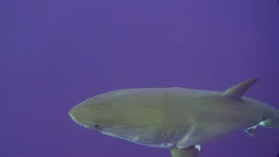 Акула - тьфу на вас