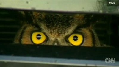 GREAT EYES - Golden Owl Traveled All Florida In Woman's Car Grill - Watch The Lady's Shock