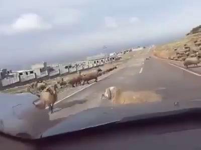 Драка баранов на дороге
