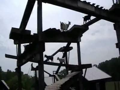 Мост для коз