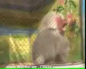 Ржачная обезьянка