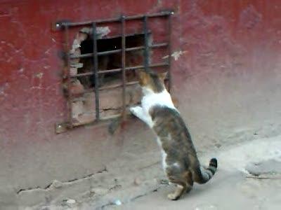 Кот задирает другого кота