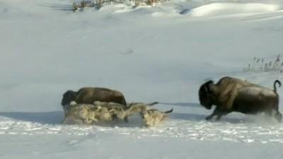 Бизон и волки