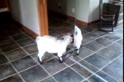 Встретились два козла