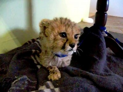 Cute Baby Cheetah Kitten Mewing