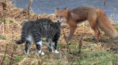 Лисенок и котенок. Знакомство