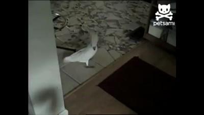 Гавкающий попугай