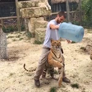 Игры с тигрой