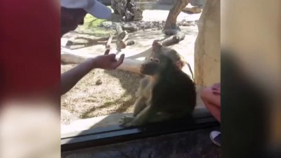 Обезьяна удивлена фокусом - Monkey Is Amazed By Man's Magic Trick