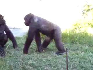 Драка обезьян