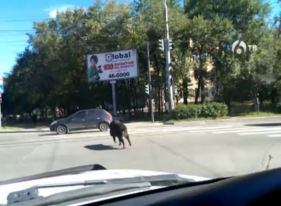 Дикий кабан в Хабаровске