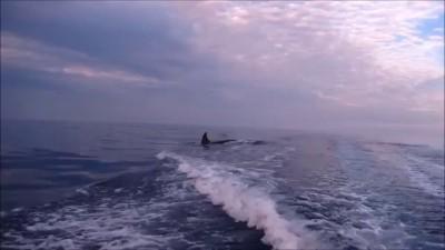 Косатки преследуют лодку