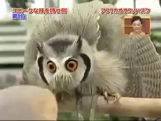 Китайская сова