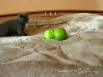 kitten vs TWO scary things (котенок против ДВУХ неведомых хреней)