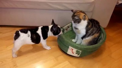 Puppy attempts to reclaim bed from cat