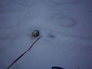 хорёк в снегу