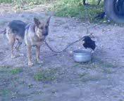 Ворон и собака