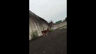собакены